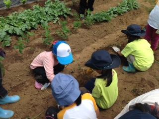 2015 さつまいも苗植え 60団.JPG