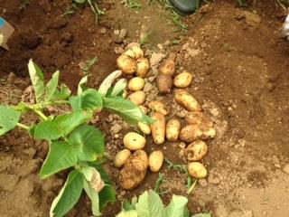 ふれあい農園 ジャガイモ収穫1.JPG
