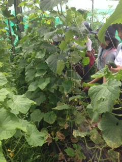 きゅうりの収穫.JPG