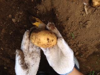 ふれあい農園 ジャガイモ収穫2.JPG